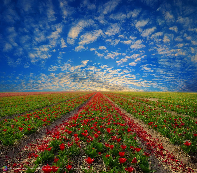 tulip-fields-peter-from